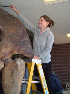 Photo: Biology student cleaning mastodon skeleton