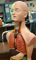 Photo of anatomy model