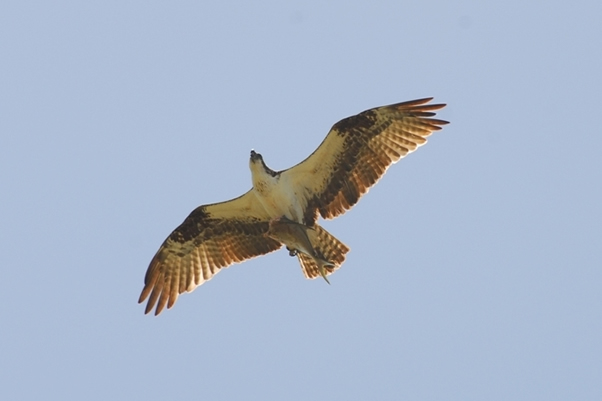 Photo: hawk in flight carrying fish