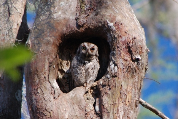 Photo: owl in hollow tree