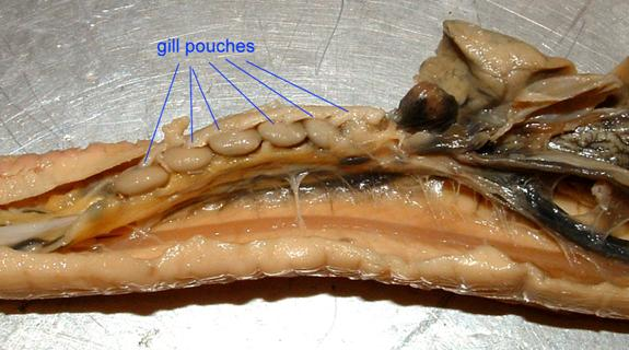 hagfish gill pouches