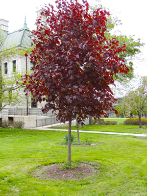 Acer Platanoides International Tree Tour SUNY Orange - Norway maple uses